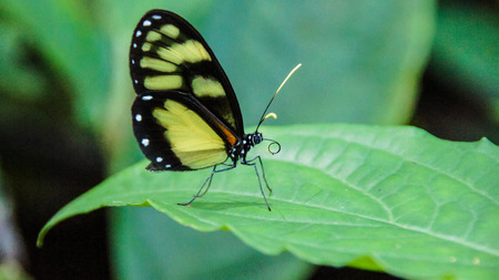 lepidopteran: Butterfly Heliconius, Arenal Volcano National Park, Costa Rica