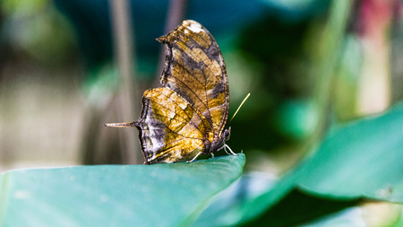 lepidopteran: Mariposa dry leaf, Braulio Carrillo National Park, Costa Rica. Stock Photo