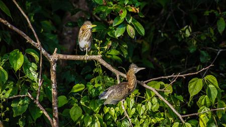 waders: Lim�colas el Ardeidae dom familia secar sus plumas, Tortuguero, Costa Rica. Foto de archivo