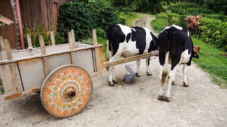 costa rican: The Costa Rican oxcart symbol of culture, peace and work. Monteverde. Stock Photo