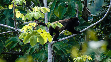 primate: Black howler monkey (Alouatta palliata) platyrrhine primate species, Manuel Antonio National Park, Costa Rica. Stock Photo