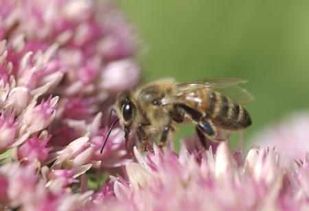 Honey bee gathering nectar photo