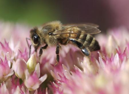 recoger: Abeja de la miel que recolecta el néctar Foto de archivo