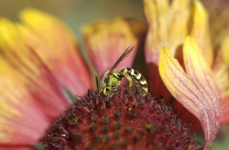 Sweat bee gathering nectar photo