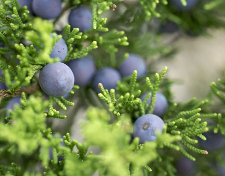 Texas Mountain Cedar female-tree with blue berries.