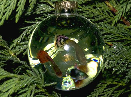 guppies: Live Christmas tree ornaments hanging on a tree.