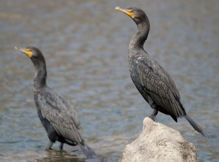 doubled: Image of two doubled-crested cormorants taken at Town Lake Austin Texas.