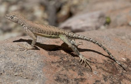 Chihuahuan Greater Earless Lizard Stock Photo - 2989416