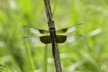 Image of dragonfly on stem of dead plant.