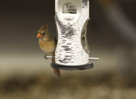 female cardinal: Image of female cardinal perched on tube bird feeder.