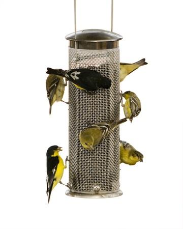 feeder: Bunch of Lesser Goldfinch on a thistle bird feeder.