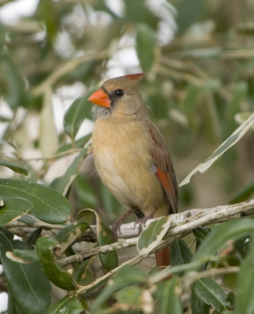 Image of female northern cardinal perched on tree branch. photo
