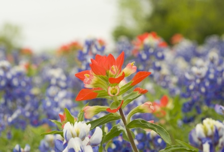 Indian Paintbrush wildflower surrounded by bluebonnet wildflowers. Stok Fotoğraf