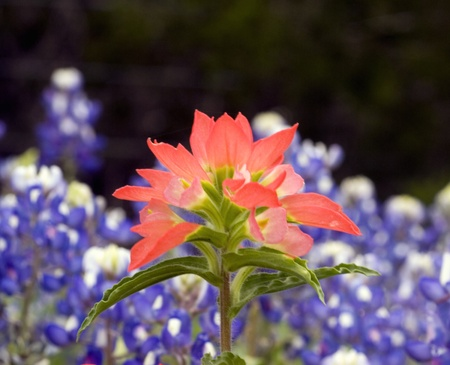 wildflower: Indian Paintbrush wildflower surrounded by bluebonnet wildflowers. Stock Photo