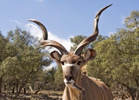 Macro image of head of a Kudu Antelope. Banco de Imagens