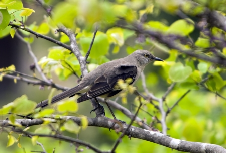mockingbird: Northern Mockingbird perched on tree branch in early spring.
