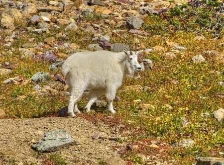 cabra montes: Hombre cabra de monta�a, el Parque Nacional Glacier, Montana.