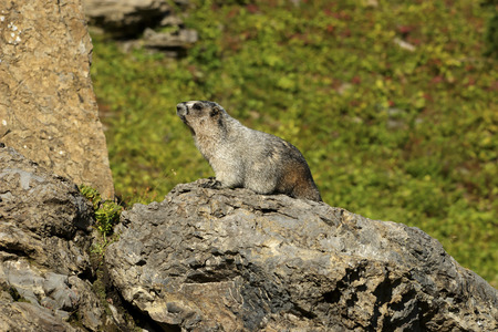 glacier national park: Hoary Marmot on a Rock, Glacier National Park, Montana Stock Photo
