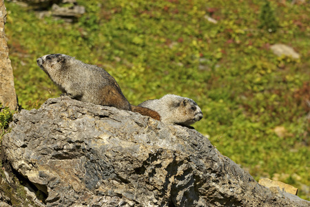 hoary: Pair of Hoary Marmots Sharing a Rock, Glacier National Park, Montana