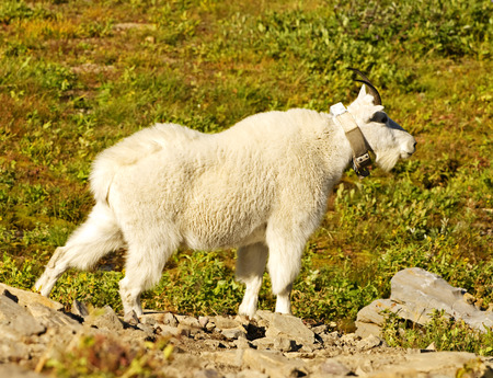 Glacier National Park: Female Mountain Goat with Tracking Collar, Glacier National Park, Montana. Stock Photo