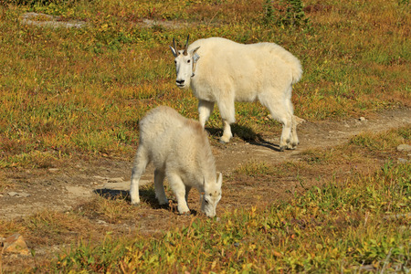 Glacier National Park: Mountain Goat mother and her kid in Glacier National Park, Montana.  Focus is on Mother. Stock Photo