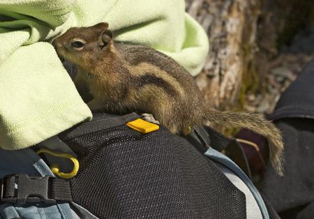 A Golden-Mantled Ground Squirrel in Glacier National Park, Montana. Banco de Imagens