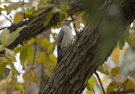 Red-bellied woodpecker perched on large branch of a tree.