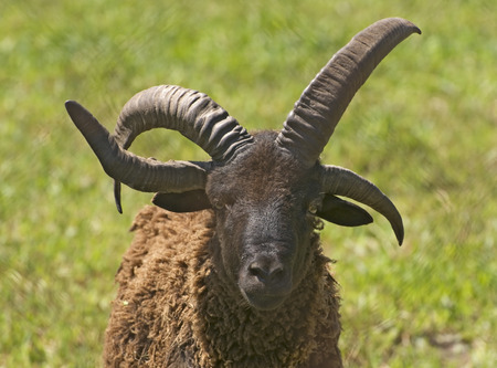 horned: Four horned Jacob Sheep.  Selective focus on head and horns. Stock Photo