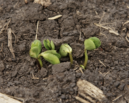iowa agriculture: Soybean seedlings sprouting in soil on an Iowa farm.  Selective focus is on the soybean sprouts.