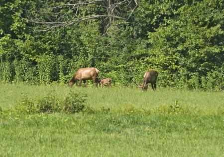 great smoky mountains national park: An Elk Family (Bull, Cow and Calf) grazing in the Great Smoky Mountains National Park, North Carolina.