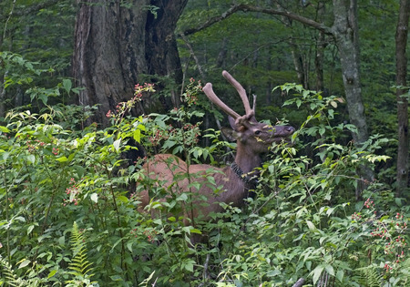great smoky national park: A wild young male elk eating wild raspberry leaves in the Great Smoky Mountains National Park, North Carolina. Stock Photo