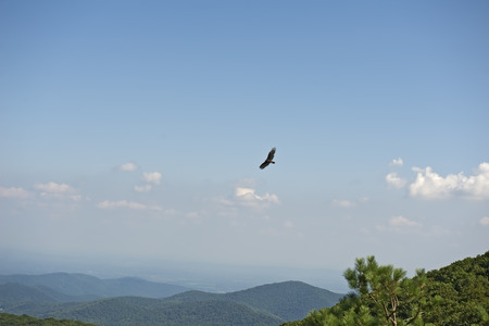 turkey vulture: Blue Ridge Mountains from Bearfence Viewpoint with Turkey Vulture riding air currents, Shenandoah National Park, Virginia, USA.