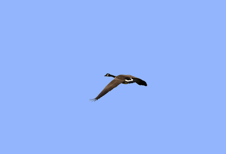 outer banks: Canada Goose in flight over The Pea Island National Wildlife Refuge in the Outer Banks, North Carolina. Stock Photo