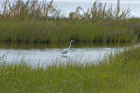 marshes: Great Egret at Bodie Island Marshes located in the Outer Banks of North Carolina.