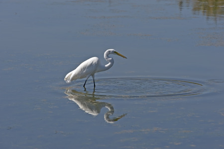 water bird: Great Egret in Currituck Sound located in Corolla, North Carolina. Stock Photo