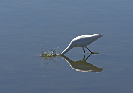 Great Egret Bobbing for Fish in the Outer Banks of North Carolina.