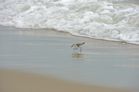 outer banks: Spotted Sandpiper trying to out run the surf at Outer Banks of North Carolina.  Selective Focus on the Sandpiper.