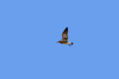 outer banks: Seagull in flight over the Atlantic Ocean in the Outer Banks, North Carolina. Stock Photo