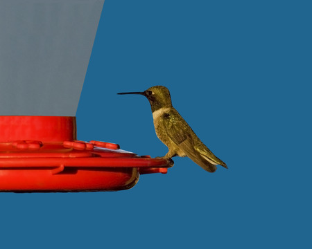 hondo: Black-chinned Hummingbird sitting on feeder in late afternoon sunlight in Hondo, Texas. Stock Photo