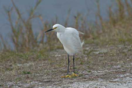 Snowy Egret standing in the wind on the shore of a lake in Florida, USA. 写真素材
