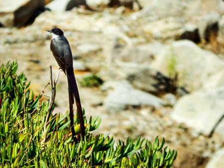 savana: earwig bird Tyrannus savana Stock Photo