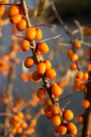 sea ??buckthorn in a forest