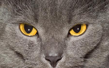Ojos amarillos de un primer gato británico gris Foto de archivo