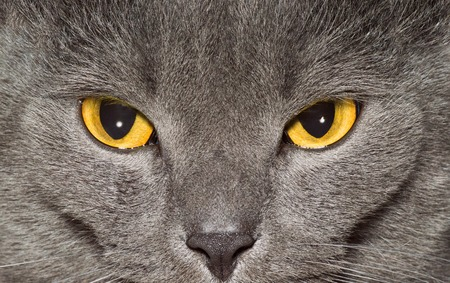Yeux jaunes d'un gros plan de chat britannique gris Banque d'images