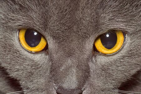 Yellow eyes of a grey British cat Stockfoto