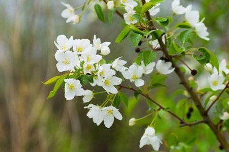 Beautiful spring blossoming apple tree white flowers 版權商用圖片