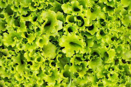 leafs of fresh green salad. closeup texture background 版權商用圖片