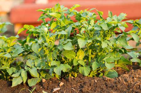green leaves potato bushes in the garden