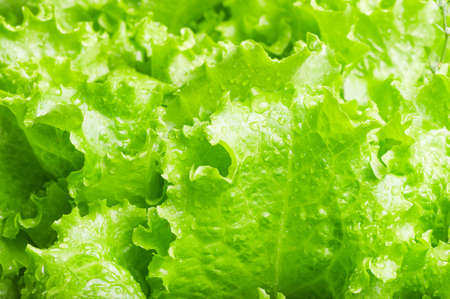 Leaves of green salad closeup texture