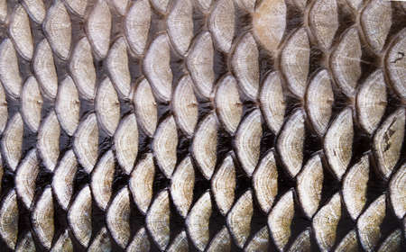 Macro roach fish skin, natural texture. Closeup background.